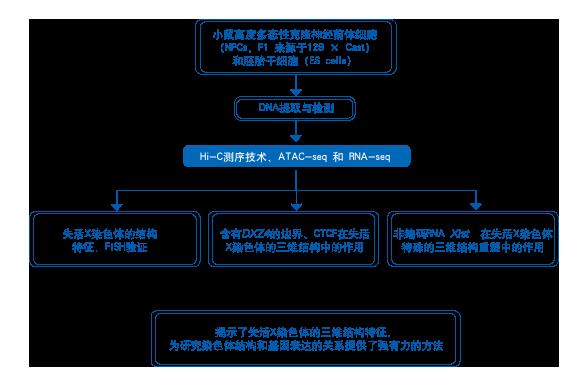 为了研究沉默X染色体中不寻常的两个结构域的重要作用,我们删除了小鼠胚胎干细胞中来源于129亲本等位基因中含有DXZ4位点的200kb边界区域。胚胎干细胞经分化后,分离出许多含有129 亲本X染色体沉默的NPC克隆(FT/D9B2克隆),Hi-C分析表明失活X染色体结构重塑导致了两个大的结构域发生融合(图4 a)。ATAC-seq和RNA-seq表明,在以上分化后的NPC克隆中,87个兼性逃离沉默的基因中有66个失去了转录和染色质亲和特性(图4b)。比较D9B2和野生型NPCS 中沉默的X染色体发现,二者在